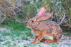 Cape hare (Lepus capensis) Kgalagadi Transfrontier Park, Northern Cape, South Africa - Ann  & Steve Toon