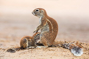 Ground squirrel (Xerus inauris) mother suckling baby, Kgalagadi Transfrontier Park, Northern Cape, South Africa, January 2016  -  Ann  & Steve Toon