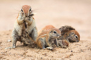 Ground squirrel (Xerus inauris) grooming young pups, Kgalagadi Transfrontier Park, Northern Cape, South Africa - Ann  & Steve Toon