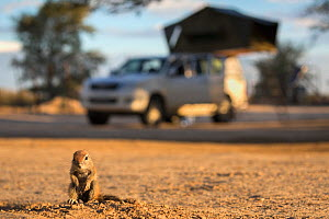 Ground squirrel (Xerus inauris) young pup sitting on camp site, Kgalagadi Transfrontier Park, Northern Cape, South Africa  -  Ann  & Steve Toon