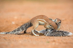 RF - Ground squirrels (Xerus inauris) grooming, Kgalagadi Transfrontier Park, Northern Cape, South Africa, January. (This image may be licensed either as rights managed or royalty free.)  -  Ann  & Steve Toon