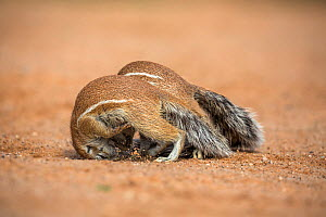 Ground squirrels (Xerus inauris) playfighting, Kgalagadi Transfrontier Park, Northern Cape, South Africa  -  Ann  & Steve Toon