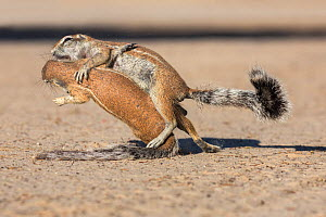 RF - Ground squirrels (Xerus inauris) playfighting, Kgalagadi Transfrontier Park, Northern Cape, South Africa, January. (This image may be licensed either as rights managed or royalty free.)  -  Ann  & Steve Toon