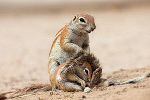 Ground squirrel (Xerus inauris) with young, Kgalagadi Transfrontier Park, Northern Cape, South Africa - Ann  & Steve Toon