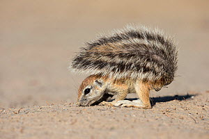 Ground squirrel (Xerus inauris) young using tail for shade whilst foraging, Kgalagadi Transfrontier Park, Northern Cape, South Africa  -  Ann  & Steve Toon