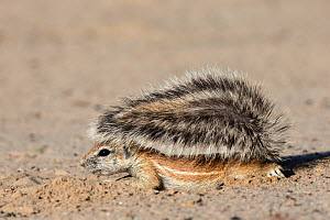 Ground squirrel (Xerus inauris) young using tail for shade, Kgalagadi Transfrontier Park, Northern Cape, South Africa - Ann  & Steve Toon