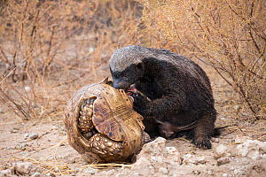RF - Honey Badger or ratel (Mellivora capensis) eating leopard tortoise (Geochelone pardalis), Kgalagadi Transfrontier Park, Northern Cape, South Africa, January. (This image may be licensed either as... - Ann  & Steve Toon