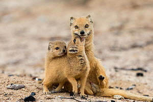 Yellow mongoose (Cynictis penicillata) with two young pups, Kgalagadi Transfrontier Park, Northern Cape, South Africa - Ann  & Steve Toon