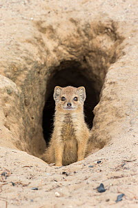 Yellow mongoose (Cynictis penicillata) young pup at burrow, Kgalagadi Transfrontier Park, Northern Cape, South Africa - Ann  & Steve Toon