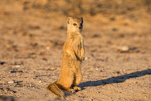 Yellow mongoose (Cynictis penicillata) young pup standing, Kgalagadi Transfrontier Park, Northern Cape, South Africa - Ann  & Steve Toon