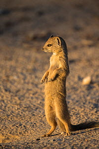 Yellow mongoose (Cynictis penicillata) young standing upright, Kgalagadi Transfrontier Park, Northern Cape, South Africa - Ann  & Steve Toon
