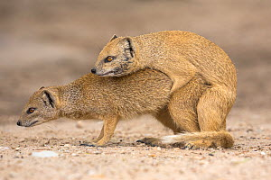 Yellow mongoose (Cynictis penicillata) pair mating, Kgalagadi Transfrontier Park, Northern Cape, South Africa - Ann  & Steve Toon