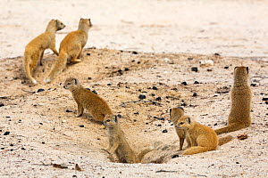 Yellow mongoose (Cynictis penicillata) family group around burrow, Kgalagadi Transfrontier Park, Northern Cape, South Africa - Ann  & Steve Toon