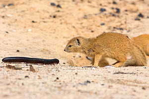 RF - Young Yellow mongoose (Cynictis penicillata) investigating giant African millipede (Archispirostreptus gigas), Kgalagadi Transfrontier Park, Northern Cape, South Africa, January. (This image may... - Ann  & Steve Toon