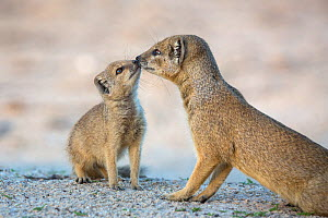 Yellow mongoose (Cynictis penicillata) affectionate moment with young pup, Kgalagadi Transfrontier Park, Northern Cape, South Africa - Ann  & Steve Toon