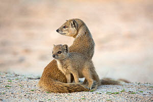 Yellow mongoose (Cynictis penicillata) with young pup, Kgalagadi Transfrontier Park, Northern Cape, South Africa - Ann  & Steve Toon