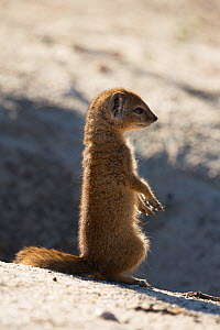 Yellow mongoose (Cynictis penicillata) young sitting outside burrow, Kgalagadi Transfrontier Park, Northern Cape, South Africa - Ann  & Steve Toon