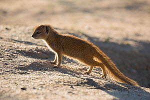 Yellow mongoose (Cynictis penicillata) young just leaving burrow, Kgalagadi Transfrontier Park, Northern Cape, South Africa - Ann  & Steve Toon