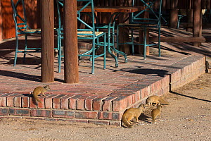 Yellow mongoose (Cynictis penicillata) foraging in tourist rest camp, Kgalagadi Transfrontier Park, Northern Cape, South Africa - Ann  & Steve Toon