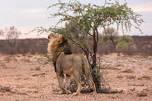 Lion (Panthera leo) male on patrol in the Kalahari sniffing scentmarks, Kgalagadi Transfrontier Park, Northern Cape, South Africa  -  Ann  & Steve Toon