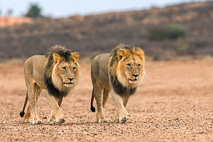 RF - Male lions (Panthera leo) on patrol in the Kalahari, Kgalagadi Transfrontier Park, Northern Cape, South Africa, February 2016. (This image may be licensed either as rights managed or royalty free...  -  Ann  & Steve Toon