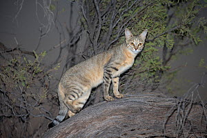 RF - African wildcat (Felis silvestris lybica) at night, Kgalagadi Transfrontier Park, Northern Cape, South Africa, February. (This image may be licensed either as rights managed or royalty free.) - Ann  & Steve Toon