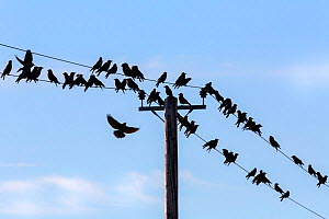 RF - Jackdaws (Corvus monedula) gathering on telegraph wires over farmland, Dumfries and Galloway, Scotland, UK, March. (This image may be licensed either as rights managed or royalty free.) - Ann  & Steve Toon