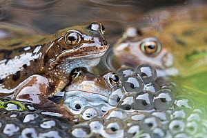 RF - Common frogs (Rana temporaria) in spawning pond, Northumberland, UK, March. - Ann  & Steve Toon