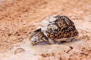 Leopard / mountain tortoise (Geochelone pardalis) drinking from puddle, Kgalagadi Transfrontier Park, South Africa - Ann  & Steve Toon