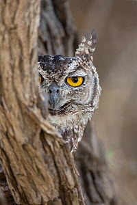 RF - Head portrait of Spotted eagle owl (Bubo africanus), Kgalagadi Transfrontier Park, Northern Cape, South Africa, February 2016. (This image may be licensed either as rights managed or royalty free... - Ann  & Steve Toon