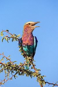 Lilac-breasted roller (Coracias caudatus) calling, Kgalagadi Transfrontier Park, Northern Cape, South Africa, February  -  Ann  & Steve Toon