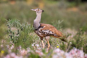 Kori bustard (Ardeotis kori) in (Nerine) flowers in summer, Kgalagadi Transfrontier Park, Northern Cape, South Africa, February  -  Ann  & Steve Toon