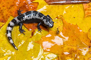 RF - Marbled Salamander (Ambystoma opacum) with Brown lipped snail (Cepaea nemoralis) in leaves, captive from North America. (This image may be licensed either as rights managed or royalty free.)  -  Chris Mattison