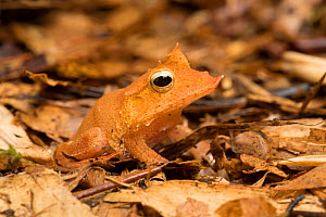 RF - Solomon Islands leaf frog (Cornufer guentheri) captive from Solomon Islands. Oceania. (This image may be licensed either as rights managed or royalty free.)  -  Chris Mattison