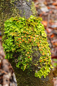 Green lungwort (Lobaria virens) La Gomera, Canary Islands, Spain  -  Chris  Mattison