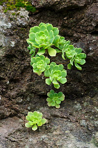 (Aeonium castello-paivae) endemic species to La Gomera, Canary Islands, Spain  -  Chris  Mattison