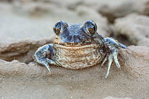 RF - Head portrait of Western Spadefoot Toad (Pelobates cultripes) in the Algarve, Portugal. November. (This image may be licensed either as rights managed or royalty free.) - Chris  Mattison