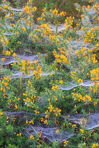 RF - Spider webs covered in dew, on gorse (Ulex), October. (This image may be licensed either as rights managed or royalty free.)  -  Chris Mattison