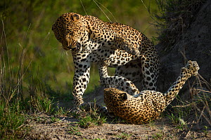 Leopard (Panthera pardus) female fighting off male after he tries to mate with her. Londolozi Private Game Reserve, Sabi Sand Game Reserve, South Africa. - Sergey  Gorshkov