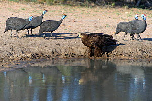Helmeted guineafowl (Numida meleagris) and Tawny eagle - Sergey  Gorshkov