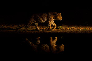 Leopard (Panthera pardus) walking along waterhole, reflected in the water at dusk. Londolozi Private Game Reserve, Sabi Sands Game Reserve, South Africa.  -  Sergey  Gorshkov
