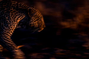 RF - Leopard (Panthera pardus) walking - blurred motion.  Londolozi Private Game Reserve, Sabi Sands Game Reserve, South Africa. (This image may be licensed either as rights managed or royalty free.)  -  Sergey  Gorshkov