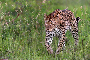 RF - Leopard (Panthera pardus) stalking prey,  Londolozi Private Game Reserve, Sabi Sands Game Reserve, South Africa. (This image may be licensed either as rights managed or royalty free.)  -  Sergey  Gorshkov