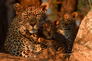 RF - Leopard (Panthera pardus) mother with cubs, Londolozi Private Game Reserve, Sabi Sands Game Reserve, South Africa. (This image may be licensed either as rights managed or royalty free.)  -  Sergey  Gorshkov