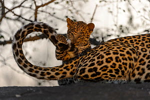 RF - Leopard (Panthera pardus) cub playing with mothers tail, Londolozi Private Game Reserve, Sabi Sands Game Reserve, South Africa. (This image may be licensed either as rights managed or royalty fre... - Sergey  Gorshkov
