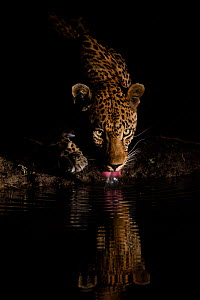 RF -  Leopard (Panthera pardus) drinking, reflected in waterhole,  Londolozi Private Game Reserve, Sabi Sands Game Reserve, South Africa. (This image may be licensed either as rights managed or royalt...  -  Sergey  Gorshkov