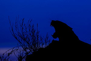 RF -  Silhoutte of Leopard (Panthera pardus) yawning at twilight, Londolozi Private Game Reserve, Sabi Sands Game Reserve, South Africa (This image may be licensed either as rights managed or royalty...  -  Sergey  Gorshkov