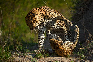 RF - Leopards (Panthera pardus) fighting,  Londolozi Private Game Reserve, Sabi Sands Game Reserve, South Africa. - Sergey  Gorshkov
