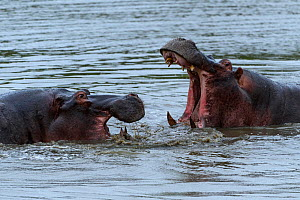 Rf- hippopotamuses (Hippopotamus amphibius) fighting, Londolozi Private Game Reserve, Sabi Sands Game Reserve, South Africa. (This image may be licensed either as rights managed or royalty free.) - Sergey  Gorshkov