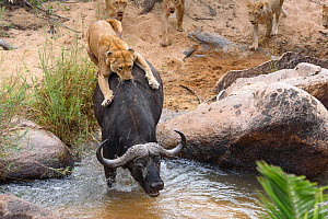 Lioness (Panthera leo) trying to bring down African buffalo (Syncerus caffer) Londolozi Private Game Reserve, Sabi Sands Game Reserve, South Africa. Sequence 4 of 5  -  Sergey  Gorshkov